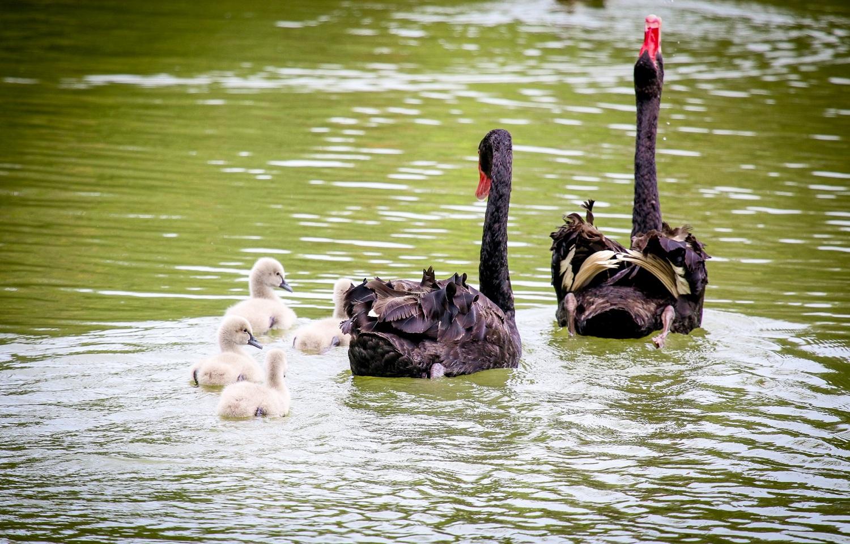 Gia đình thiên nga đen